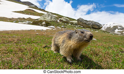 Close up of a cute young funny marmot, looking at camera,...