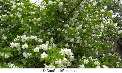 Jasmine blooms in the garden - Jasmine blooms white fragrant...