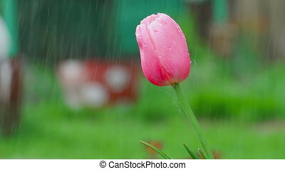 Pink tulip flower under rain - Raindrops on the petals of a...