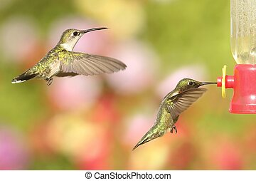 Ruby-throated Hummingbirds archilochus colubris - Male and...