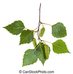 branch of birch tree with green leaves and catkins - branch...