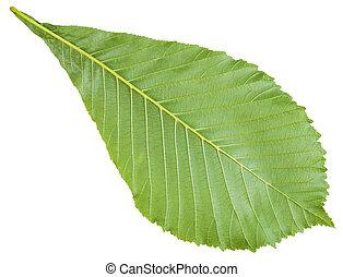 back side of Aesculus (horse chestnut) green leaf - back...