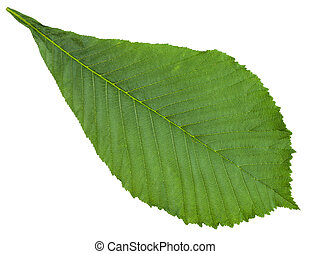 Aesculus (horse chestnut) green leaf isolated - Aesculus...