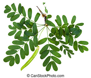 twig with leaves and pod of Caragana arborescens - twig with...