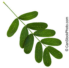 twig with green leaves of Caragana arborescens (yellow...