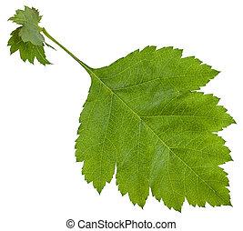 fresh leaf of redhaw hawthorn shrub isolated - fresh leaf of...