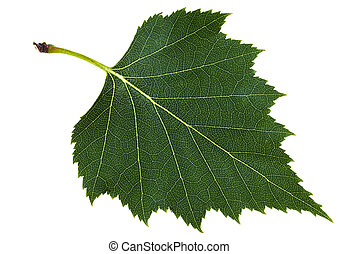 green leaf of birch tree isolated