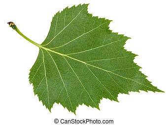 back side green leaf of birch tree isolated - back side of...