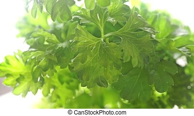 Parsley shallow focus pan shot against white background clip