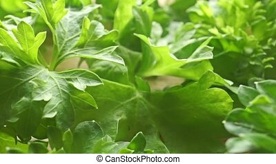 Green parsley leaves close up dolly shot clip
