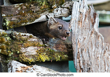 Hungry American Marten On Fence - American marten showing...
