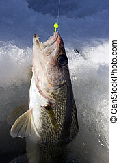 walleye ice fishing - walleye being pulled through the ice...