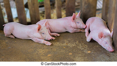Pig Farm - Piglets on the farm.