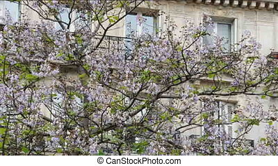 typical paris france architecture with spring flowering tree...
