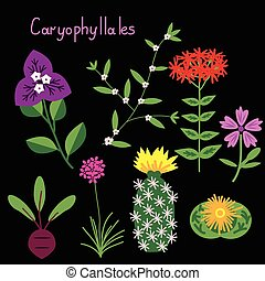 Caryophyllales plant order vector examples