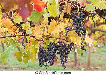 Ripened mature wine grapes in Coonawarra winery, during...