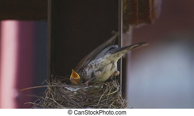 Female Fieldfare on the nest - Fieldfare Thrush female nest...