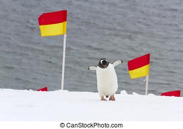 Penguin navigating flags - Gentoo penguin navigating...