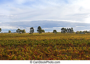 Vineyard in the morning in Coonawarra winery region during...