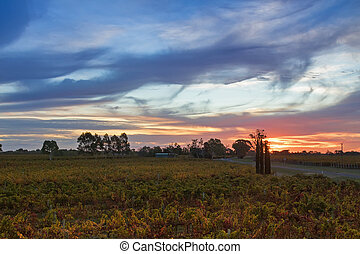 Sunset view of vineyard in the evening in Coonawarra winery...