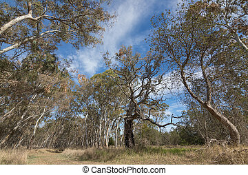 Big gum trees, Eucalyptus, at Naracoorte forest during...