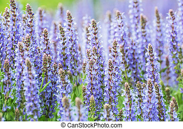 Salvia officinalis flowers, seasonal natural background -...