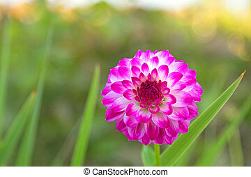 Pompon Dahlia flowers in white color marked with reddish...