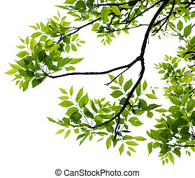 Leaf isolated - Fresh green leaf isolated on white...
