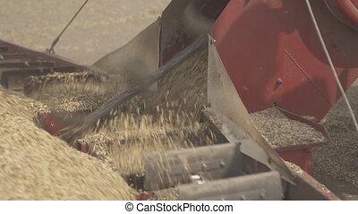 Scraper loader quickly shoveling grain closeup. It is...