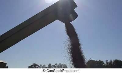 wheat grain cereal unloading into truck on farmland field in...