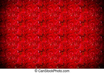Red natural roses background - beautiful Red natural roses...