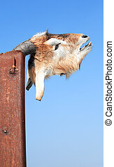 Dead Goat Head - Head of dead goat on metal pole against...