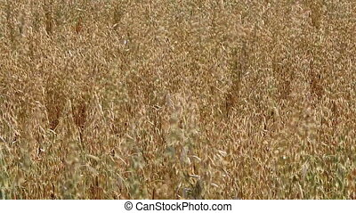 Oat field in summer close up