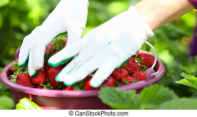 closeup picking strawberries - picking ripe red strawberry...