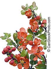Florecer, japonés, membrillo, (Chaenomeles)