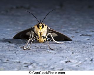 Asota heliconia zebrina,Moth - night shot of Asota heliconia...