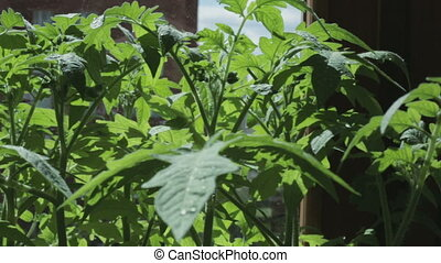 Seedlings of tomato on windowsill. - Seedlings of tomato on...