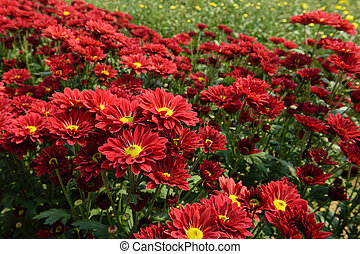 chrysanthemums - red chrysanthemums in the garden