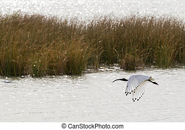 Australian White Ibis with white plumage and black head...