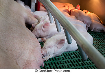 Piglets suckling in enclosure - Cute piglets suckling sow on...