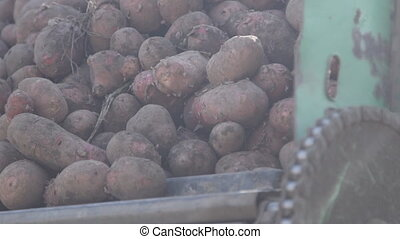 Potato tubers dug up recently, lie in hopper of combine...