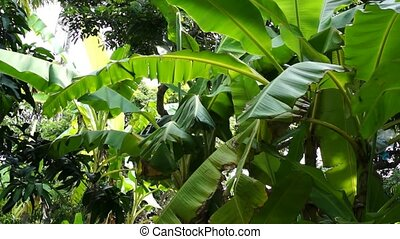 banana tree leafs waving in wind - Green banana leafs waving...