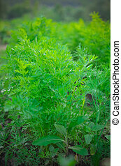Carrot plants closeup, growing in a garden