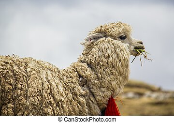 camel - Camel on the heights of eating sudamerica