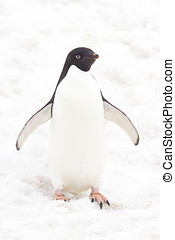 Adelie penguin, high tone - High tone of adult adelie...