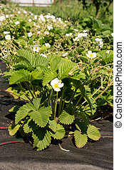 Blooming strawberries plants growing in the bed in the...