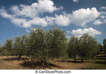 Olive grove in Tuscany - Olive grove in Gambassi Terme in...