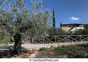 Olive tree in Tuscany near Gambassi Terme