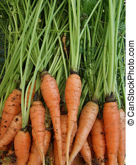 Fresh Carrots - Bunch of fresh organic carrots with tops