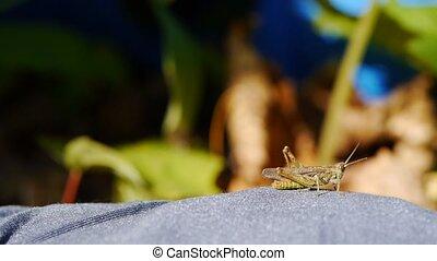 Grasshopper creeps